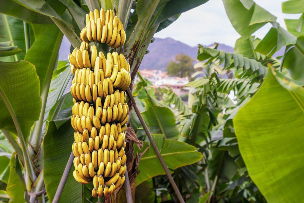 Bananenstaude-shutterstock_376905205 2