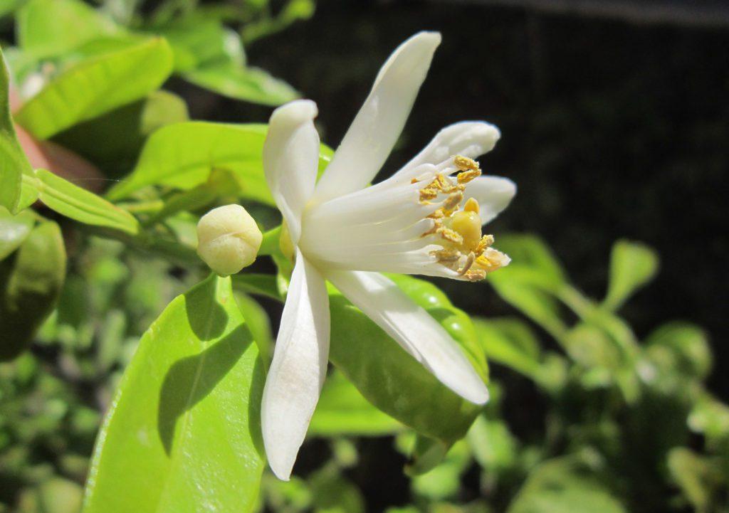lemon-blossom-1334788_1920