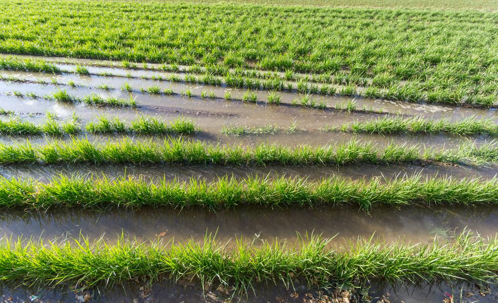 Erdmandeln Plantagen (Bild: © FCG - shutterstock.com)