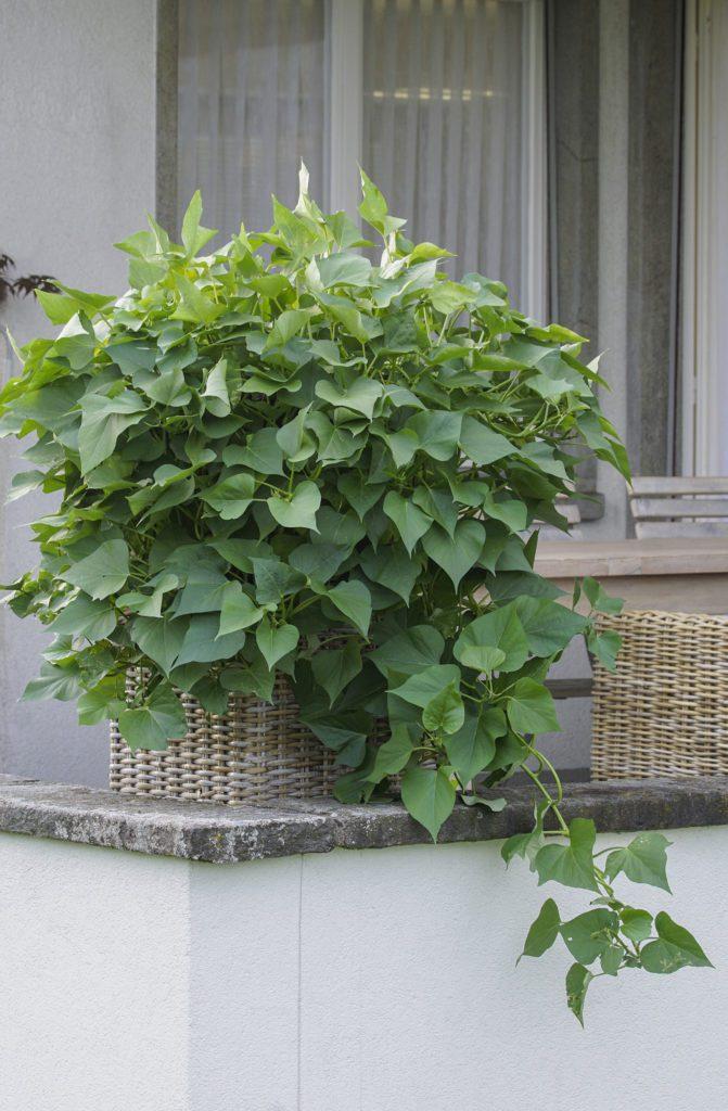 Süsskartoffeln sind sehr wüchsig und machen sich auch als Zierpflanzen gut. (Bild: © Picturegarden | Rohner)