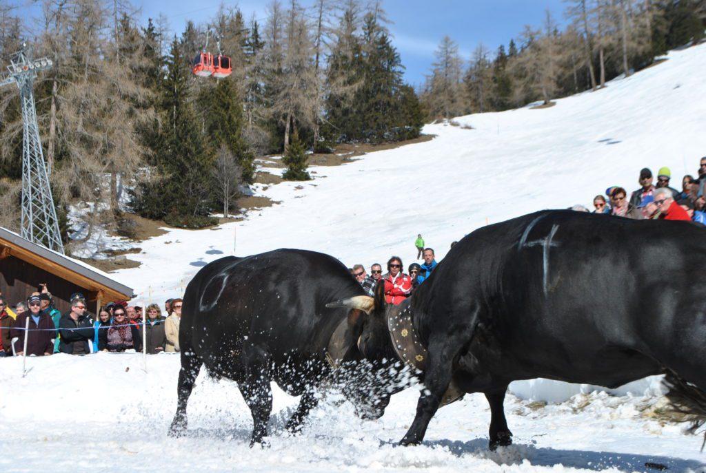 Ringkuhkampf im Schnee (1)