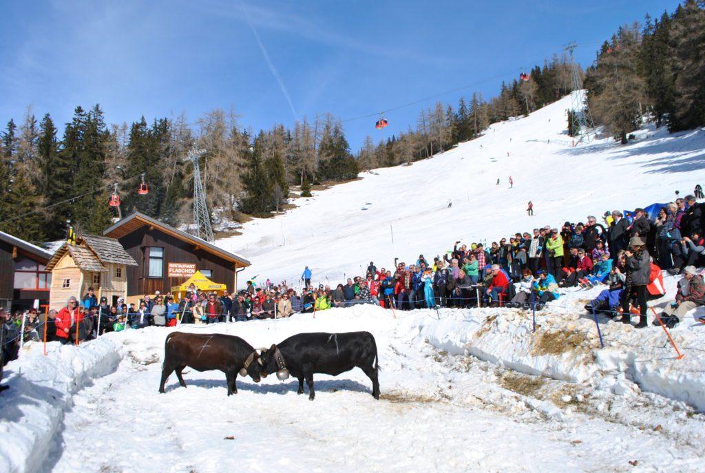Ringkuhkampf im Schnee (2)