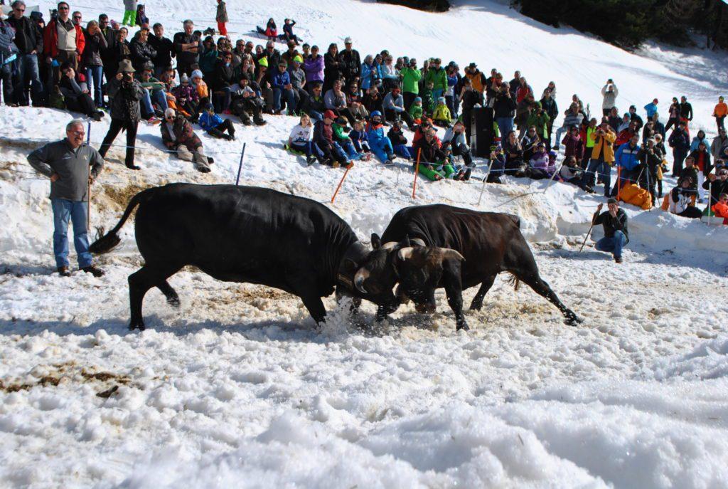 Ringkuhkampf im Schnee (4)