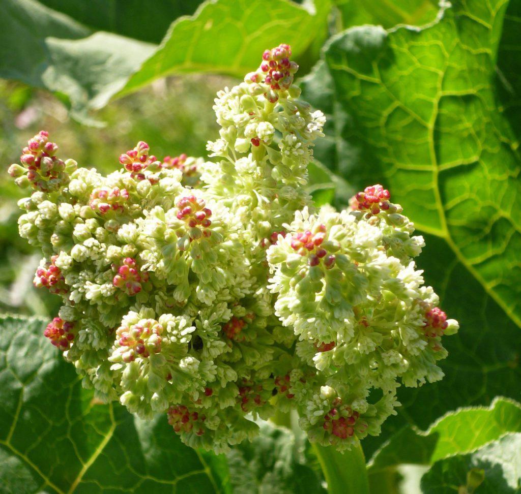 Rhabarber Blume (© pixabay.com)
