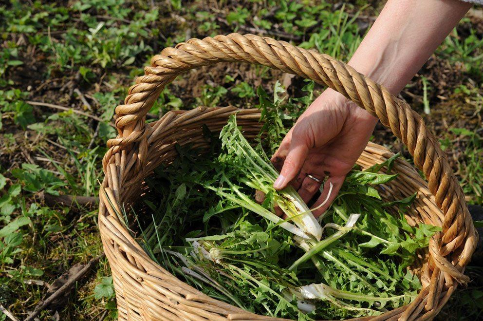Von der Löwenzahnpflanze können alle Teile verwendet werden. (Bild: Bildagentur Zoonar GmbH – Shutterstock.com)