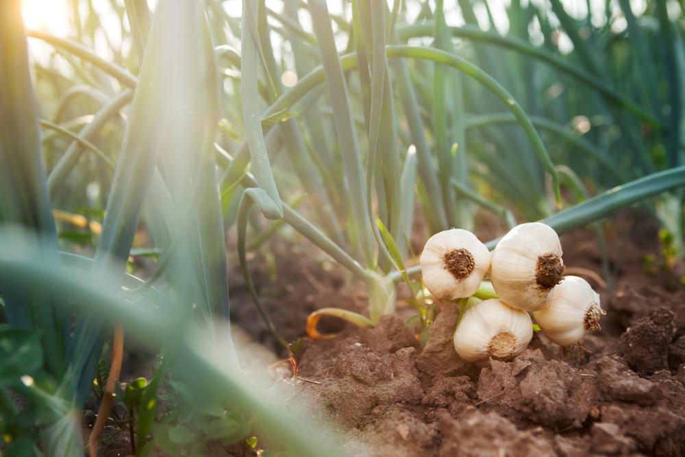 Knoblauch nach der Ernte. (Bild: Cherries - shuttertsock)