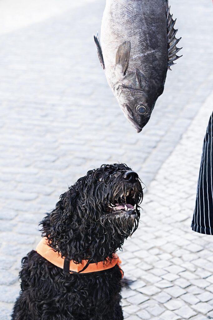 Portugiesischer Wasserhund (Bildquelle: Anja Jahn)