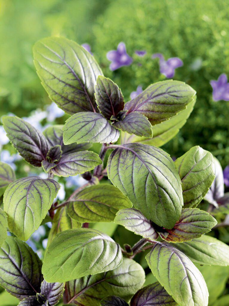 Strauch-Basilikum. Schmeckt wie Genoveser, Pflanze ist aber viel robuster. Triebe von unten her verholzend. Sorten mit rötlich-violetten Blättern und lila Blüten sowie mit grünen Blättern und weissen Blüten erhältlich. Sehr reich blühend. Bienenmagnet! Unbedingt ausprobieren! (Bild: N1704059_140 © Nova Foto Graphik)