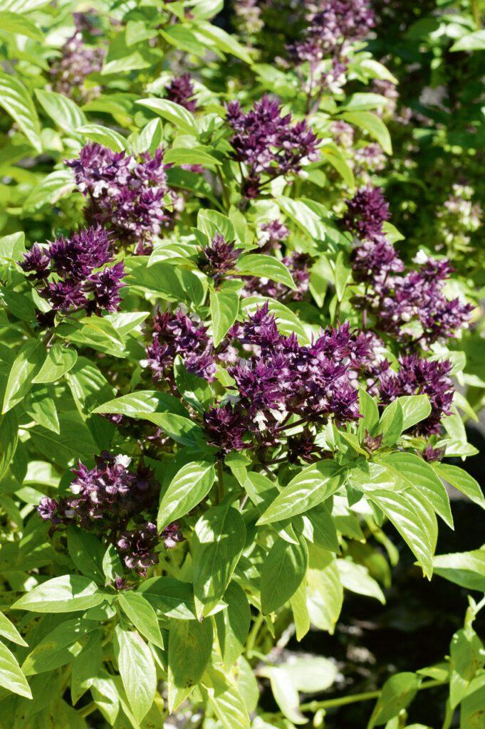 Thai-Basilikum. Typisches, an Anis und Lakritz erinnerndes Aroma. Findet vor allem in der asiatischen Küche Verwendung. Blatt fester als bei mediterranen Typen. Violette Blütenstände mit lila Blüten. (Bild: N1705756_140 © Nova Foto Graphik)